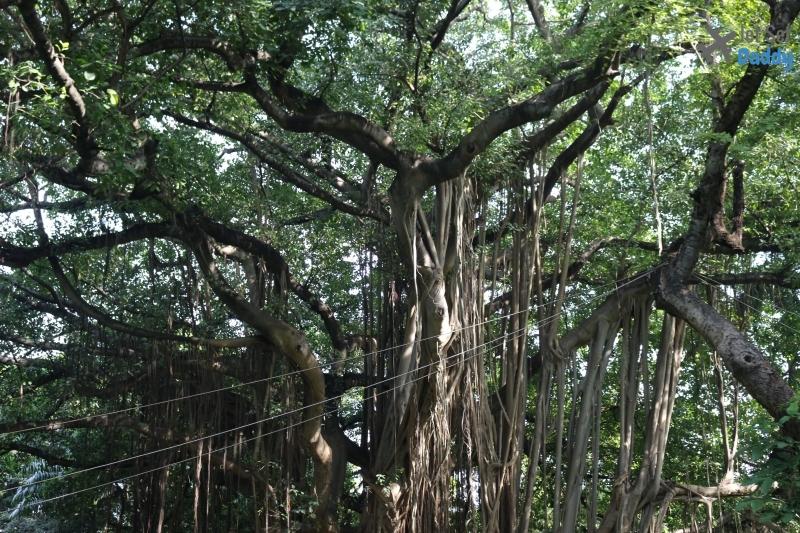cuba tree